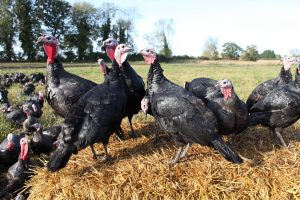 mortons_turkeys_010
